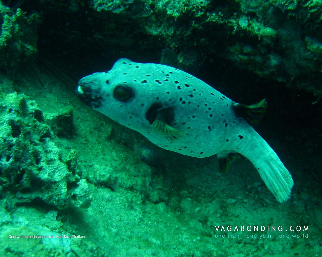 Goofy, mutton-headed fish, Koh Tao, Thailand